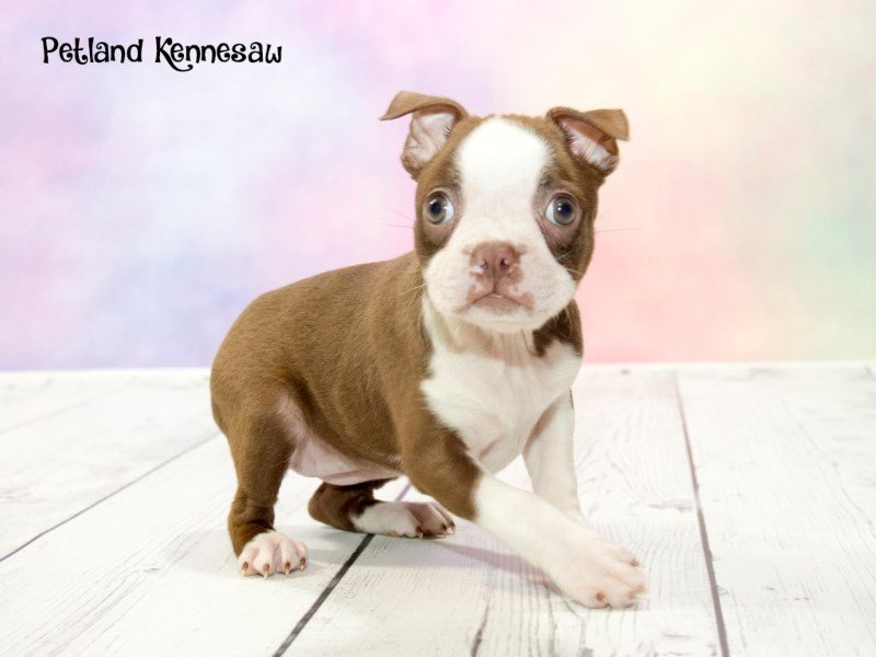 Boston Terrier-DOG-Female-SL & WH-1763080-Petland Mall of Georgia