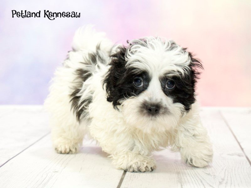 Shih poo-Male-Black / White-1763377-Petland Mall of Georgia