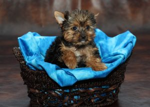 teacup yorkie for sale