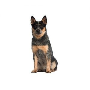 australian-cattle-dog