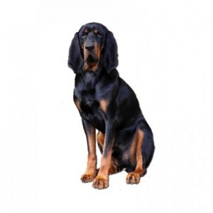 black-and-tan-coonhound