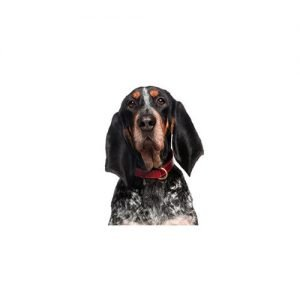 bluetick-coonhound