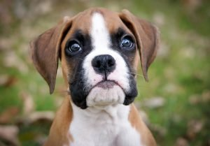 boxer puppies for sale