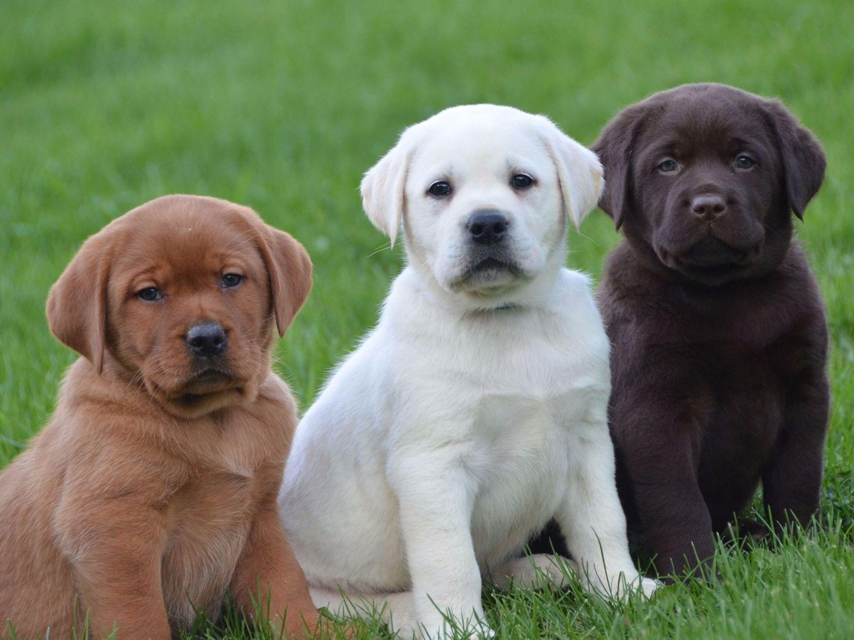 Lab Puppies For This Dog Takes
