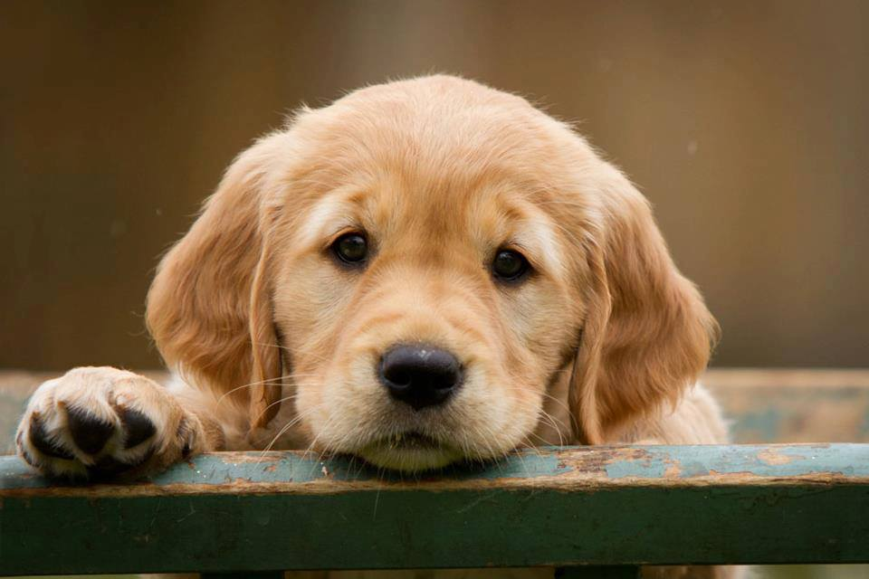 Golden Retriever Puppies For Sale Why You Need This Breed
