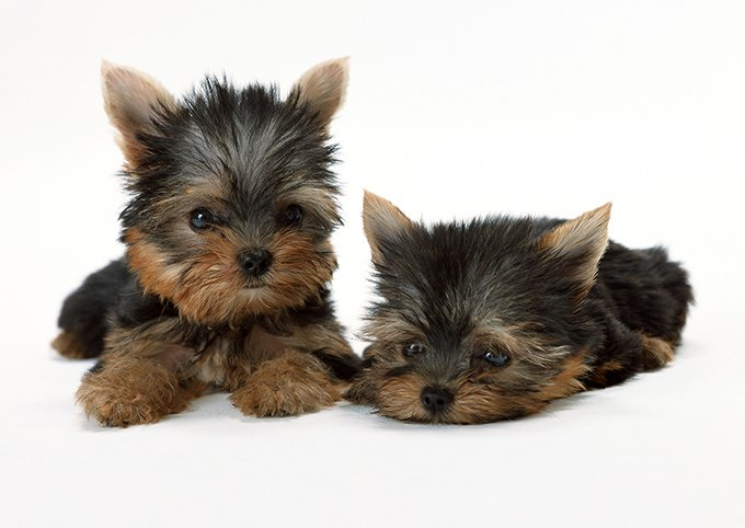 Teacup Puppies For Sale These Teeny Pups Need Extra Loving