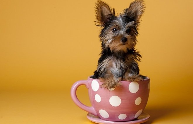 Teacup Yorkies for Sale - Cute, Cuddly and Absolutely