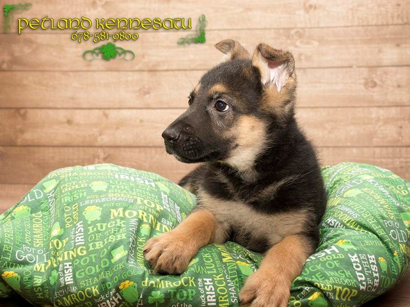 German Shepherd Dog-DOG-Male-Black / Tan-1740256-Petland Mall of Georgia