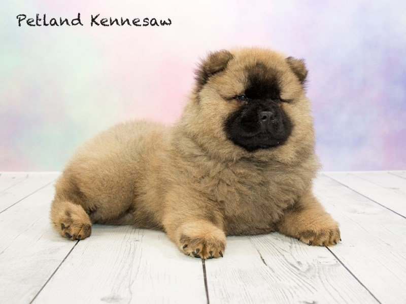 Chow Chow-Male-CMN-1766570-Petland Mall of Georgia