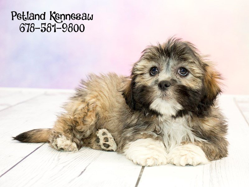 Lhasa Apso-Male-Grizzle-1773652-Petland Mall of Georgia