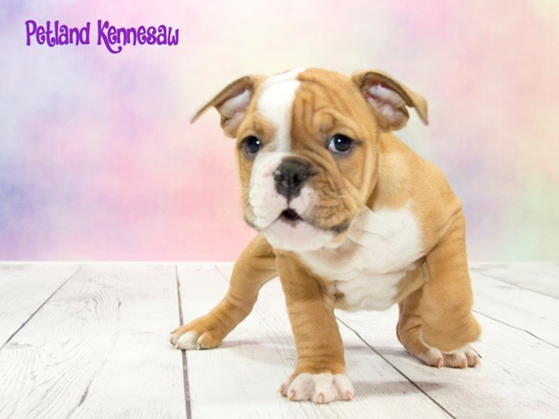 Victorian Bulldog-Male-RD & WH-1777917-Petland Mall of Georgia
