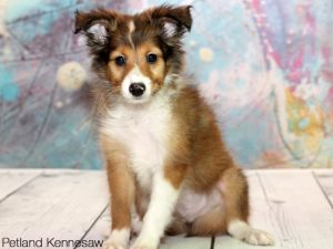 Sheltie puppies for sale