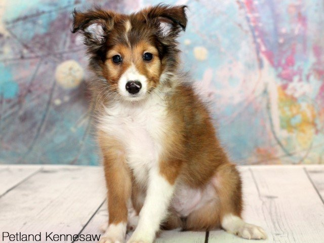 Sheltie Puppies For Sale Why You Need One Of These Precious Pups