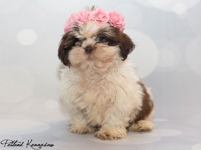 Shih Tzu Puppies For Sale What Happens When You Have A Shih Tzu For