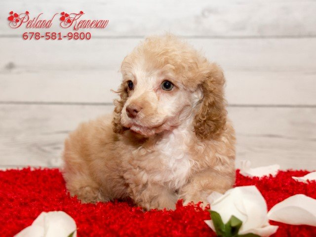 Our Miniature Poodles for Sale Will Give You Unparalleled