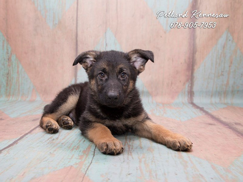German Shepherd Dog-DOG-Male-Black / Tan-1841134-Petland Mall of Georgia