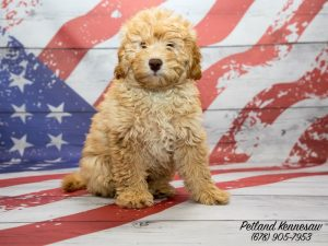 mini goldendoodles for sale