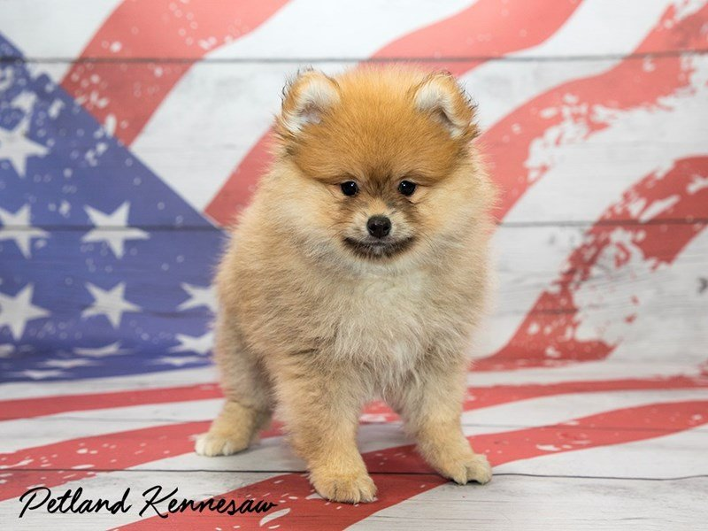 Pomeranians For Sale This Petite Breed Packs In The Love