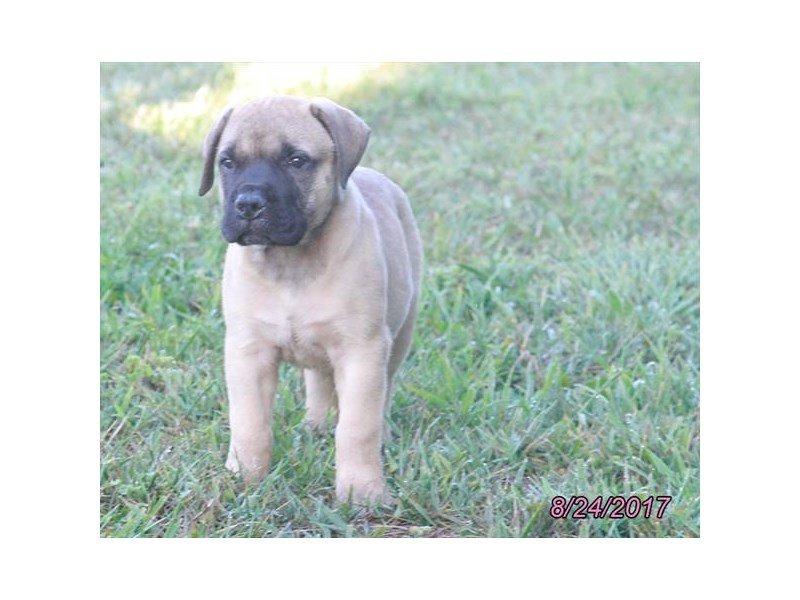 BULLMASTIFF-DOG-Male-Fawn-1879244-Petland Mall of Georgia