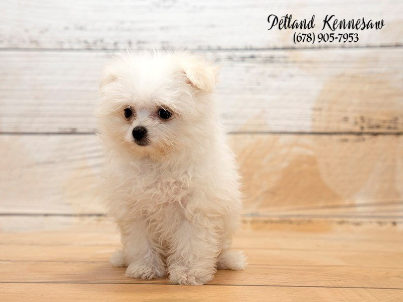 Maltipom-Female-Cream White-1876475-Petland Mall of Georgia