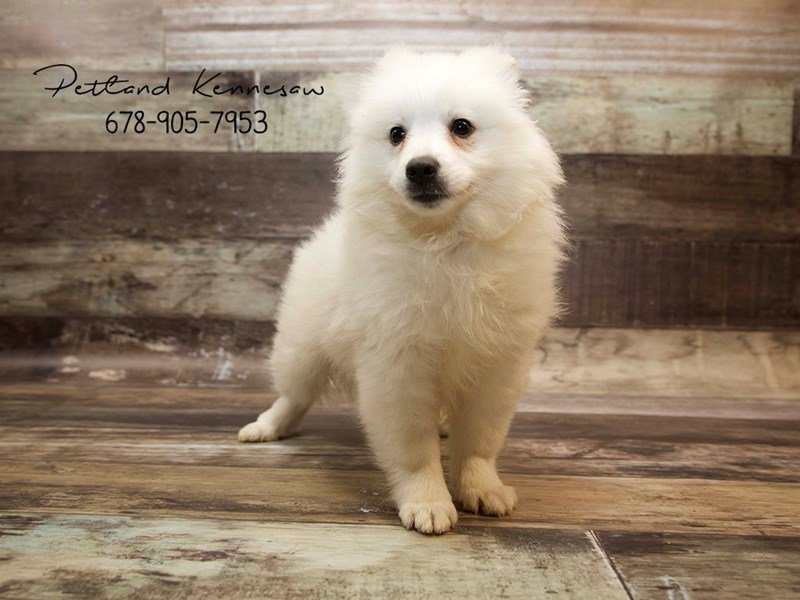 American Eskimo-Male-wh-1890146-Petland Mall of Georgia