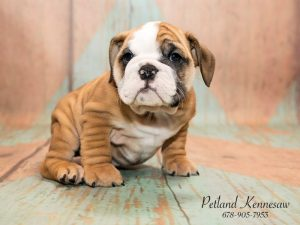Petland Mall Of Georgia Has All The Breeds Of Bulldog Puppies For