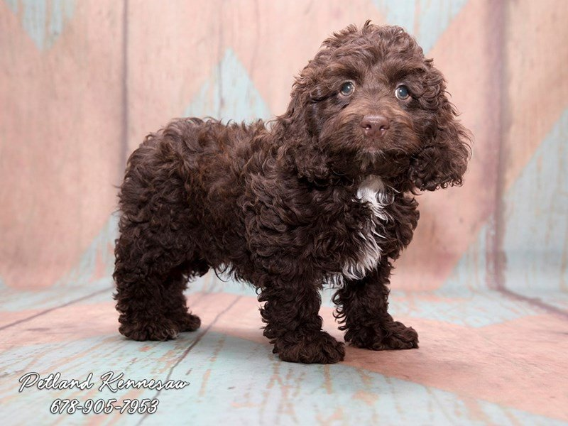 a cockapoo puppy is the breed of choice if you want a social and