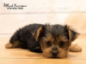 There Is Nothing Better Than Finding The Perfect Yorkie Puppy For