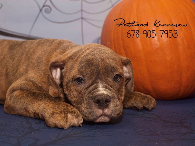 Victorian Bulldog-Female-BL BRDL:WH MKGS-1920070-Petland Mall of Georgia