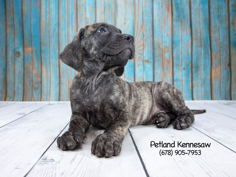 Mastiff-DOG-Male-Brindle-1936427-Petland Mall of Georgia
