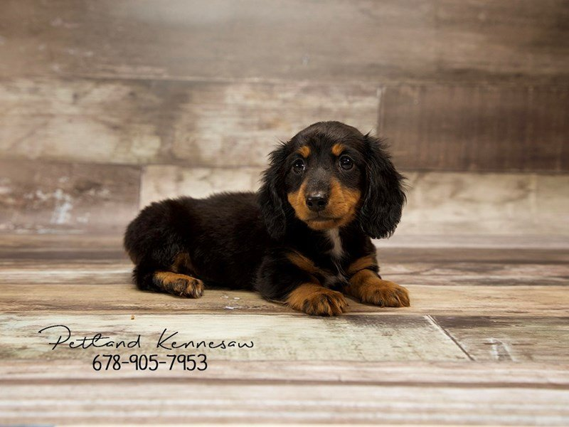 Dachshund Puppies For Sale Whats Not To Love About The Weenie Dog