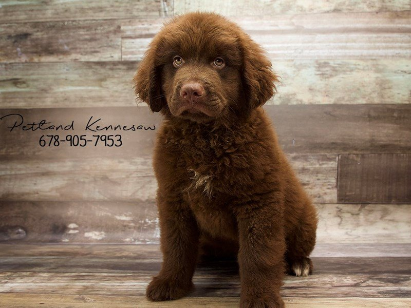 Cuddle Up Next To A Newfoundland Puppy For Sale This Holiday Season