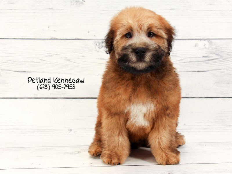 Soft Coated Wheaten-Male-WHTN-2020916-Petland Mall of Georgia