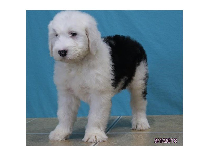 Old English Sheepdog-Male-Black / White-2025938-Petland Mall of Georgia