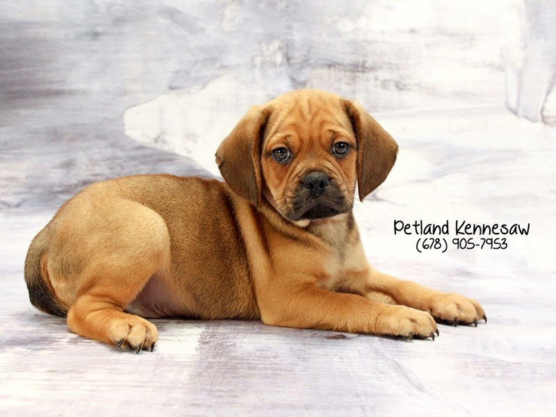 Puggle-Male-Fawn-2030407-Petland Mall of Georgia