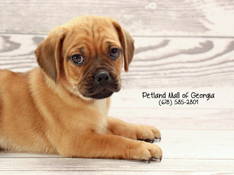 Puggle-Male-Fawn-2030414-Petland Mall of Georgia