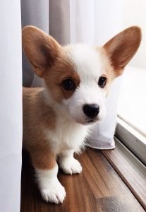 corgi puppies for sale