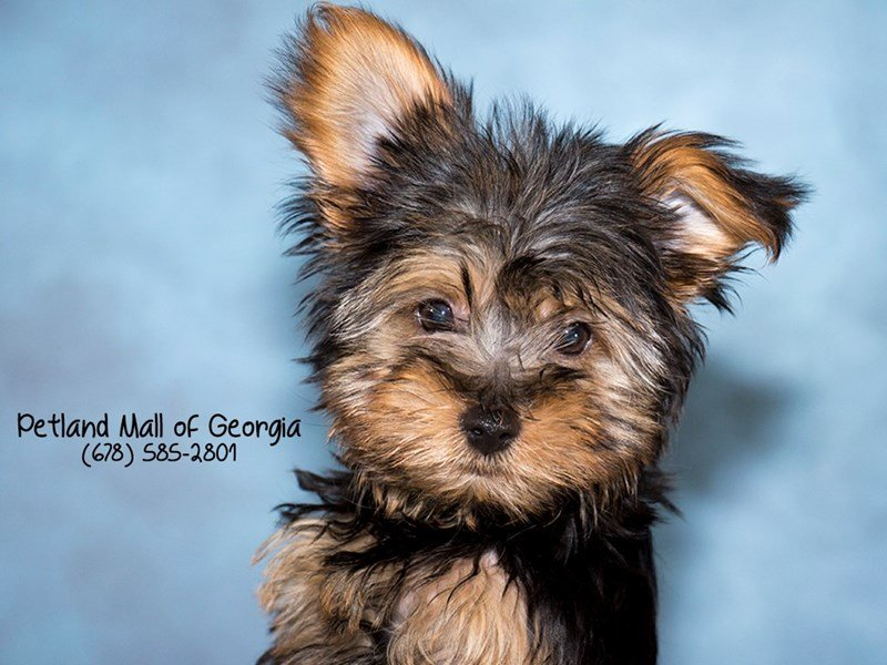Petland Mall of Georgia: Your Perfect Yorkie Is Waiting For