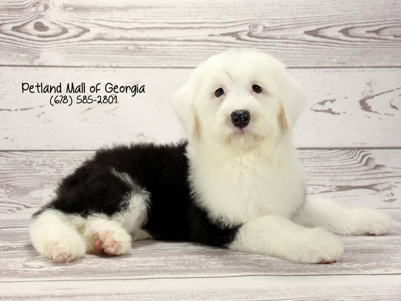 Old English Sheepdog-Female-Black / White-2025947-Petland Mall of Georgia