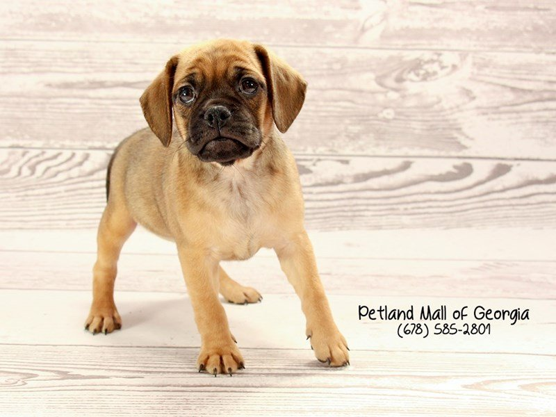 Puggle-Female-Fawn-2030413-Petland Mall of Georgia