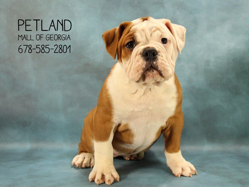 Victorian Bulldog-Female-Red-2070336-Petland Mall of Georgia