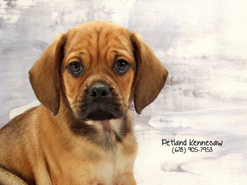 Puggle-Male-Fawn-2030406-Petland Mall of Georgia