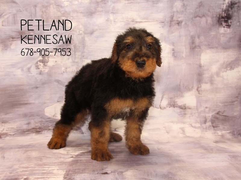 Airedale Terrier-Male-black tan-2053761-Petland Mall of Georgia