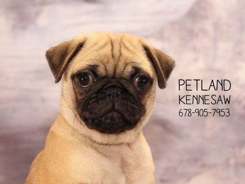 Pug-DOG-Female-FN-2074476-Petland Mall of Georgia
