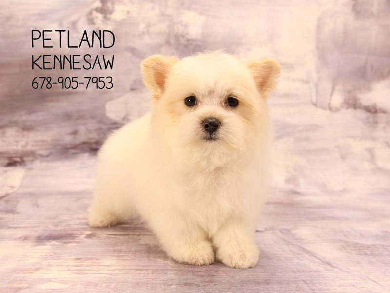 Maltipom-Male-White / Lemon-2075464-Petland Mall of Georgia