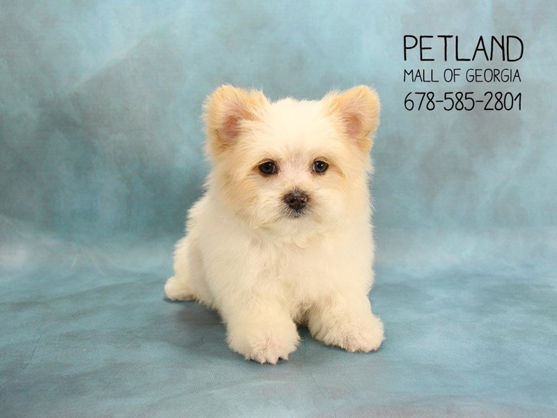 Maltipom-Male-White / Lemon-2075459-Petland Mall of Georgia