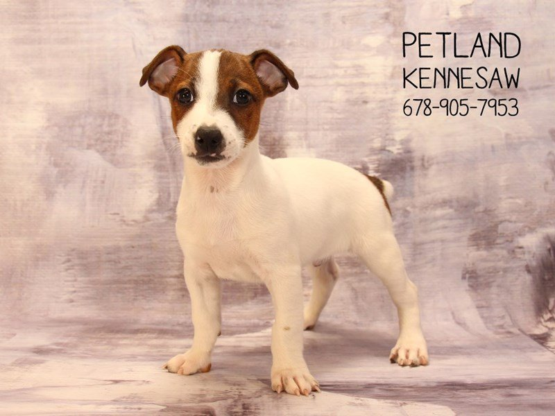 Jack Russell Terrier-Male-White / Brown-2085403-Petland Mall of Georgia