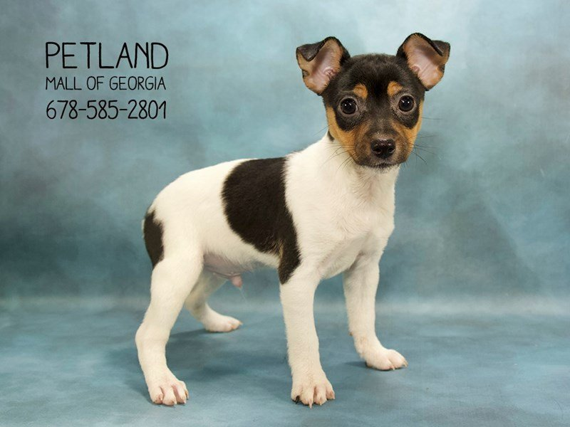 Toy Fox Terrier-Male-WH BLK & TN-2088950-Petland Mall of Georgia