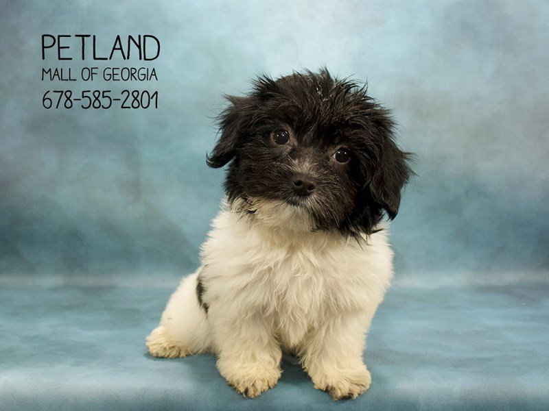 Coton De Tulear-Female-BLK:WH MKGS-2088953-Petland Mall of Georgia
