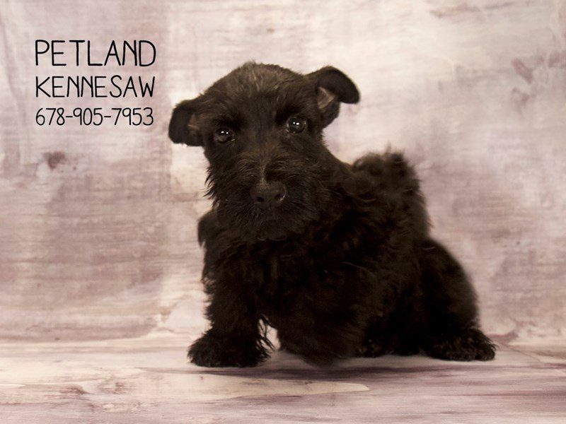 Scottish Terrier-Female-BLK-2089295-Petland Mall of Georgia